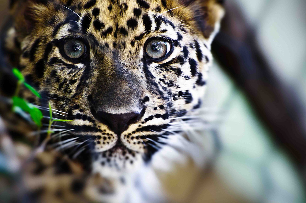 A leopard's face stares directly at the viewer