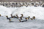 Pinguine, die im Meer schwimmen