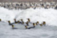 海で遊泳するペンギン