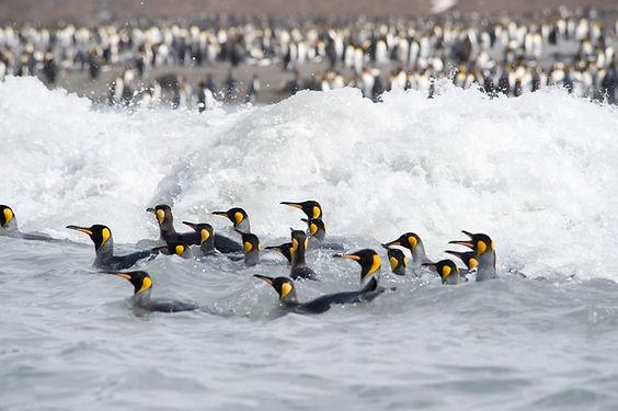 Pinguins nadando no mar