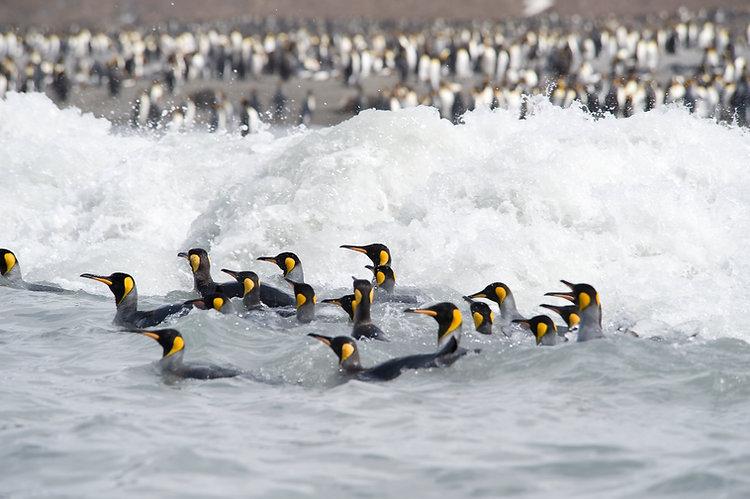 Pingouins nageant en mer