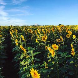 Lạc cánh đồng hoa