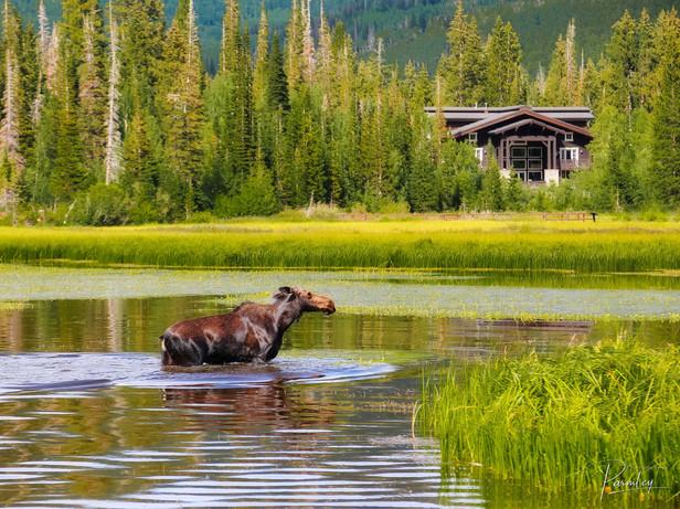 Wondering Moose at Silver Lake