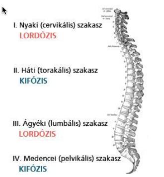 Egészséges hát, gerinc görbületei, lordózis, kifózis