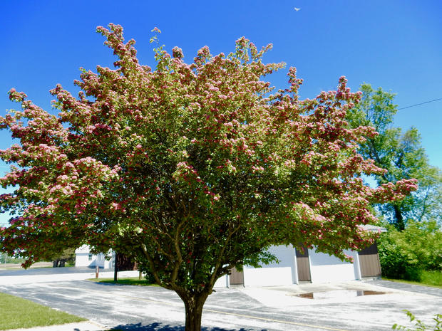 Colorful Crabapple