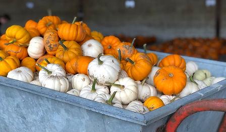 tiny pumpkins.jpg