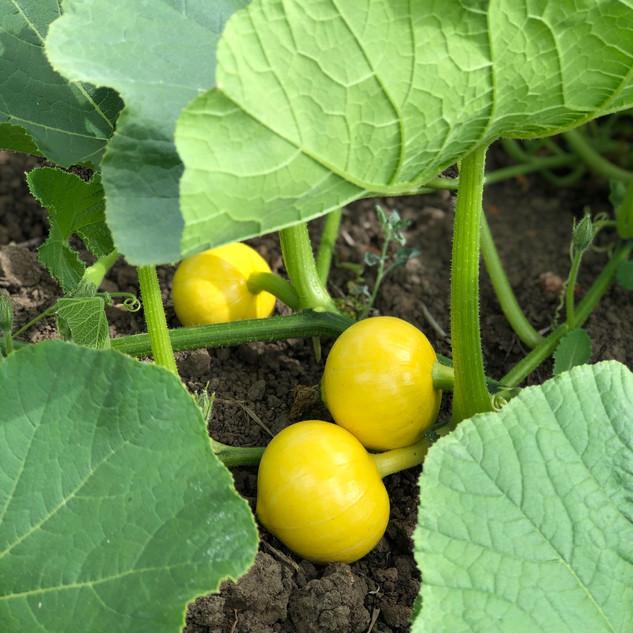 Pumpkins Start To Grow