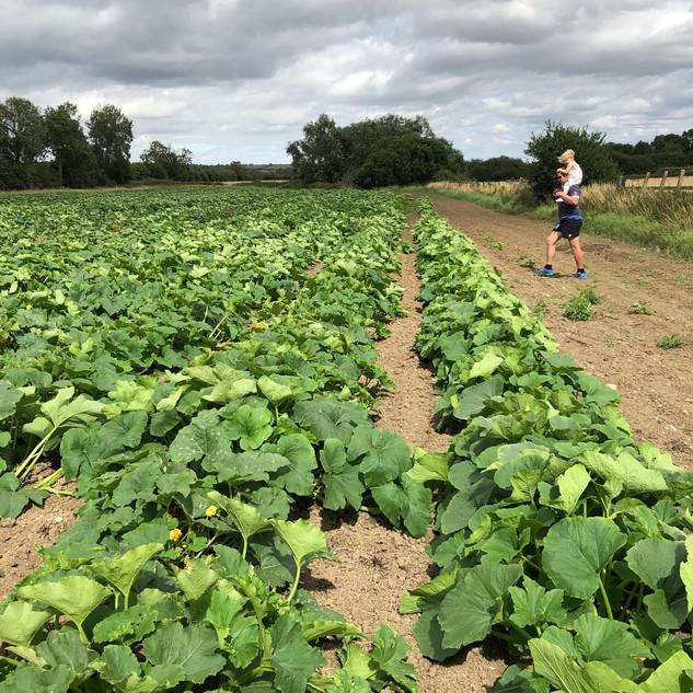 Farmer Paul Surveying His Pumpkins