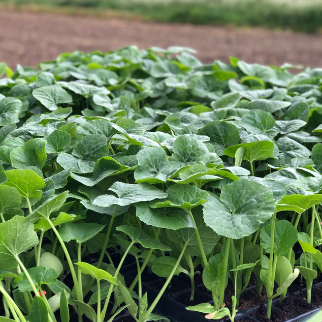 Small Pumpkin Plants ready to plant out