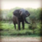 Eléphant au parc Kruger, camping Malelane