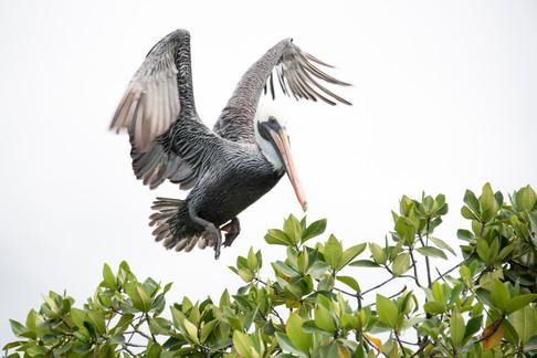 pelican 12EDIT12x8.jpg