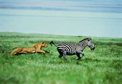 Zebra or Lion?