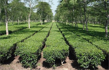 Rows of Tea Bushes 2.jpg