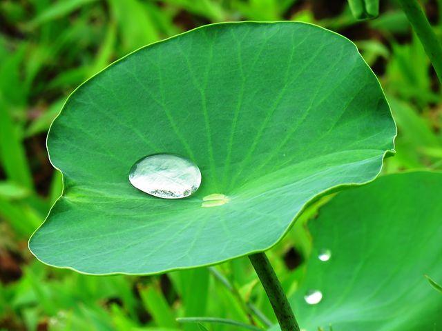 lotus-leaf-2420205__480