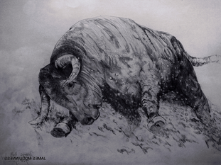 Bull Sketch (2)