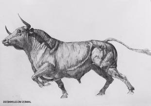 Bull Sketch (4)