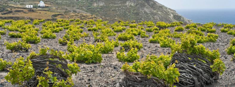 Santorini vineyards by VinePair