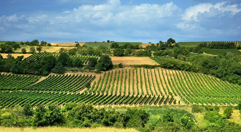 Fruška Gora vineyards