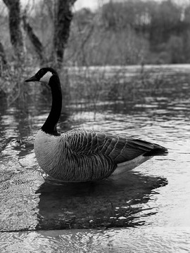 Geese or Goose?