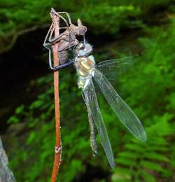 Dragonfly emerging - Tobin Preserve July 2015 - photo LDoss