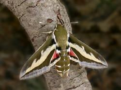 BedstrawHawk-moth