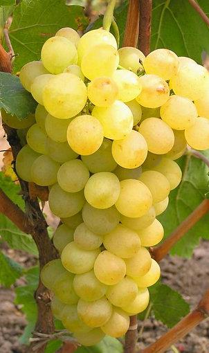 Лоза Винограда Ноа