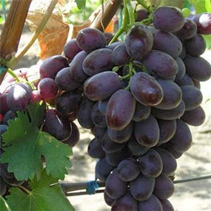 Виноград Шоколадный
