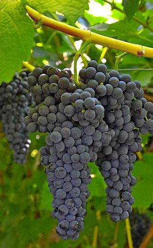 Лоза винограда Каберне-Совиньон