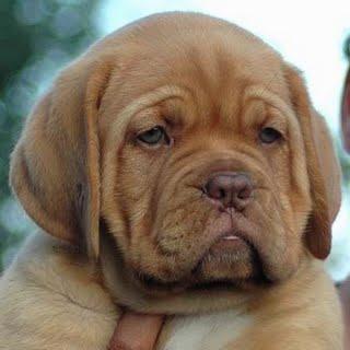 Dogo.jpg