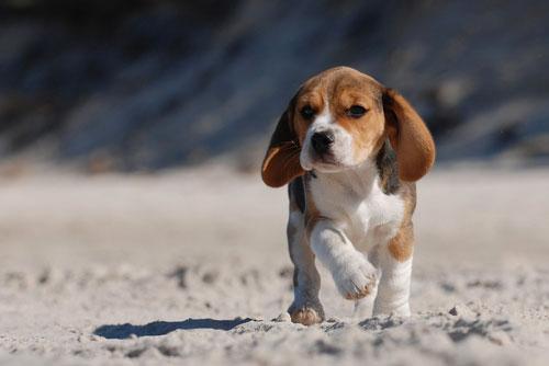 beagle-w.jpg