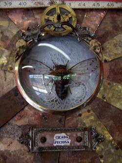 Cicada Speciosa
