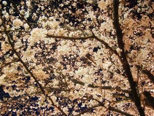 10(月)~16(日)が見頃!夜桜ライトアップ中!