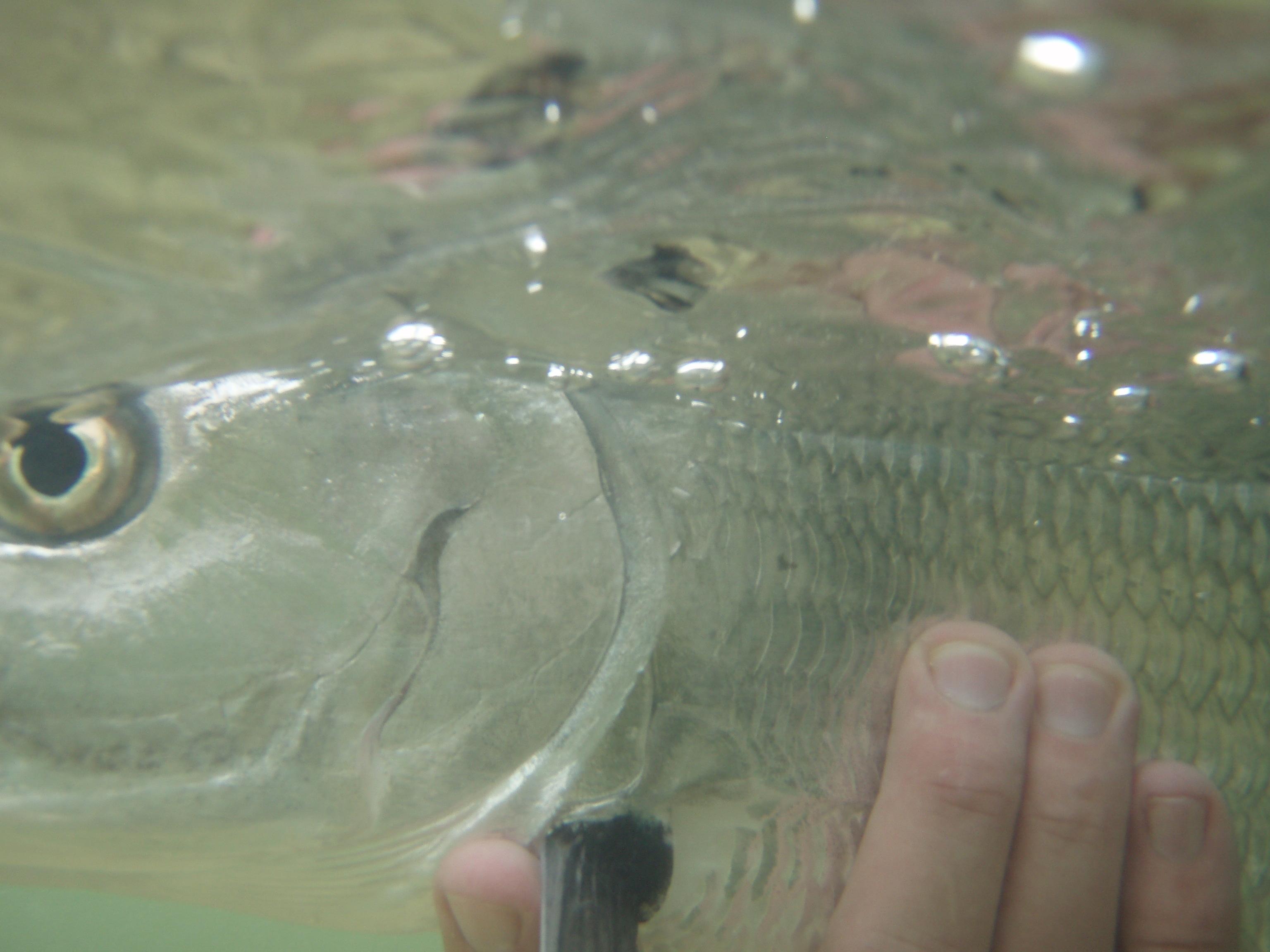 Bahamas Bonefish Underwater