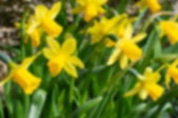 daffodils-4110041_1920.jpg