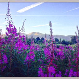 An evening walk in Portinscale. A field of tall flowers with Skiddaw in the background.