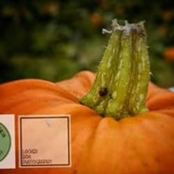 Ladybirds love pumpkins