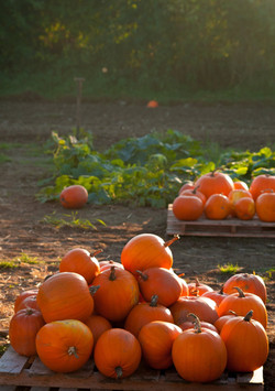 Alright-Pumpkin-Meath-pick-your-own