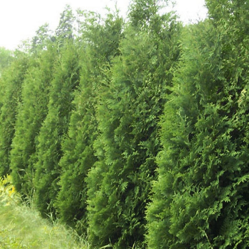 White Cedar (American Arborvitae) (Bundle of 25)