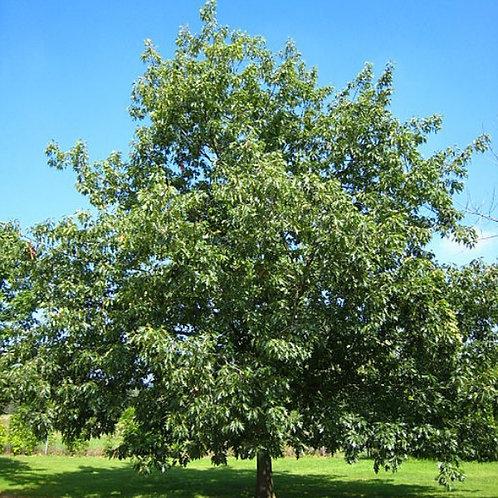 Red Oak (Bundle of 25)