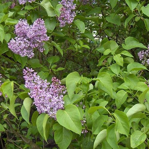 Common Purple Lilac (Bundle of 25)