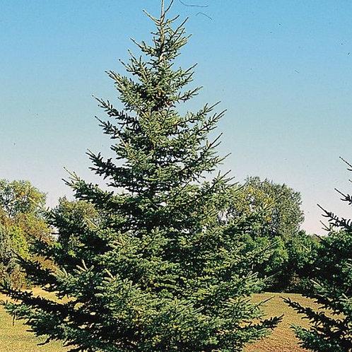 Black Hills Spruce (Bundle of 25)