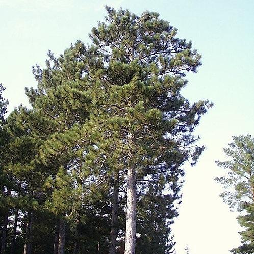Norway (Red) Pine (Bundle of 25)