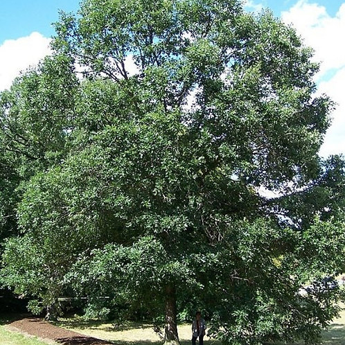 Swamp White Oak (Bundle of 25)