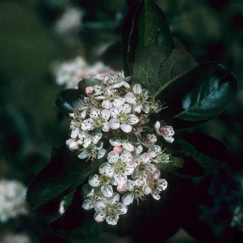 Chokeberry, Mackenzie's Black (Bundle of 25)