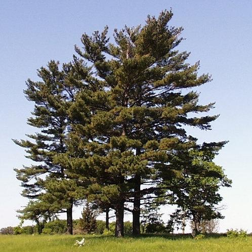 White Pine (Bundle of 25)