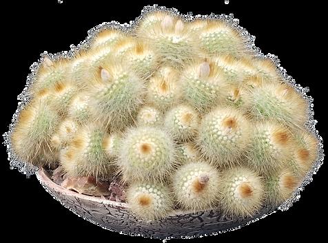 Parodia scopa ssp. succineus-Jennifer Ha