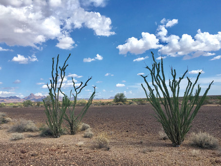 October Plant of the Month - Fouquieria splendens, the Ocotillo
