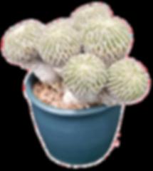 Pelecyphora aselliformis- Miles to Go.pn