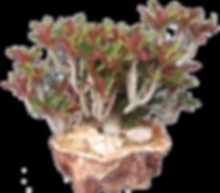 Euphorbia millotii- Peter Walkowiak.png