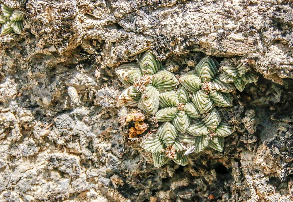 Aztekium valdezii
